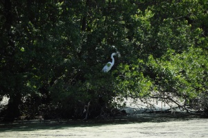 Egrets and herons co-exist in this tree.