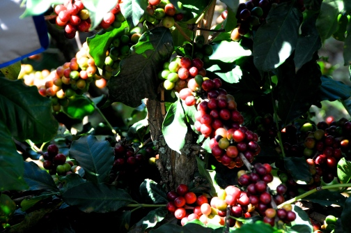 Coffee Beans, Green and Ripened Red